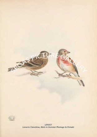 LINNET - Lanaria Canabina, Male in Summer Plumage & Female